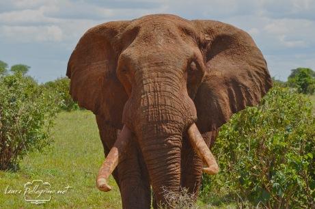 elefantegigantebuonotanzania