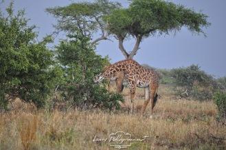 giraffaapranzotanzania