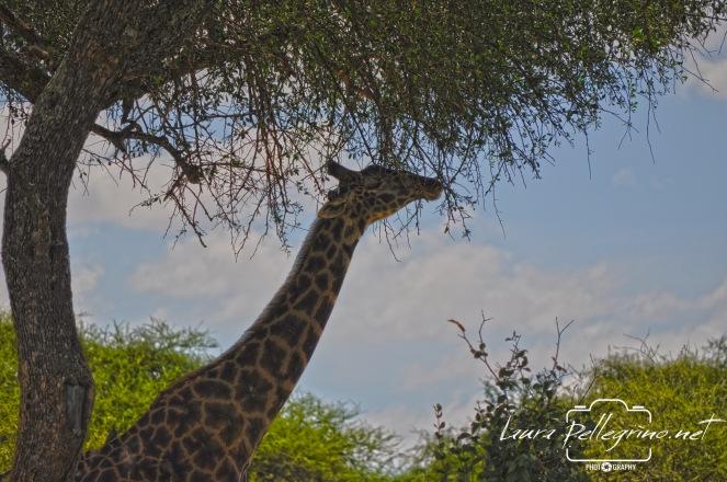 giraffachemangiatanzania