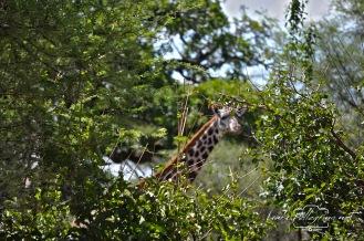 giraffagiocaanascondinotanzania
