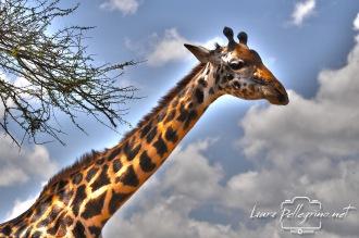 giraffasafaritanzania