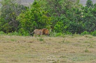il re della foresta tanzania