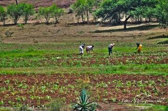 lavoratrici campi tanzania