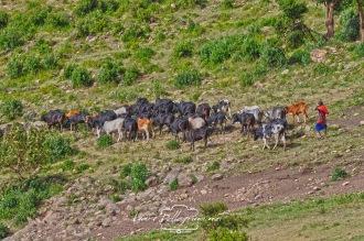 masai e mucche al pascolo