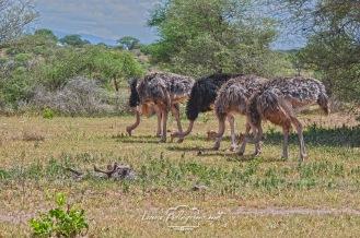 struzzi safari tanzania
