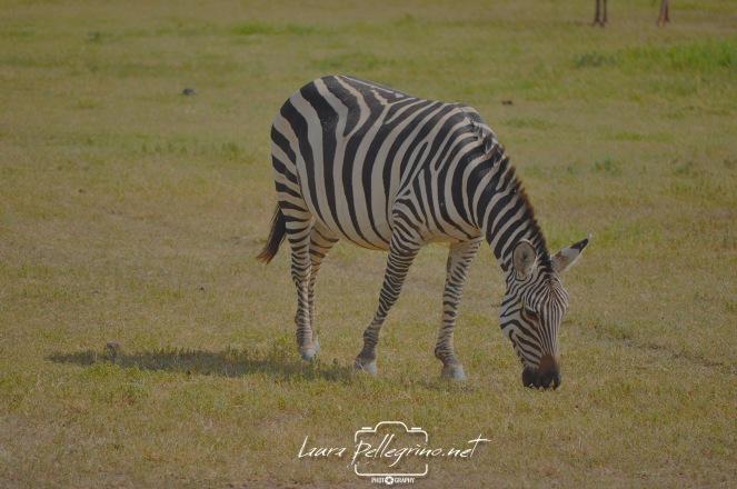 zebrasafaritanzania