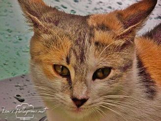 gattino_Scilla