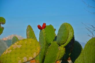 cactus_rudericirella